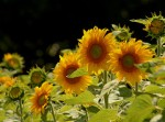 A Field of Sunshine by aussiegall, Flickr